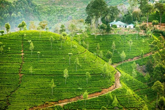 Ceylon-Sri-Lanka-Tea-Plantation.jpg